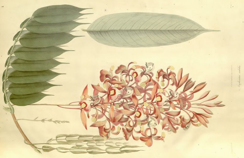 A botanical drawing of the species Plantae Asiaticae Rariores from Wallich's book Plantae Asiaticae Rariores (Volume 1, 1830)