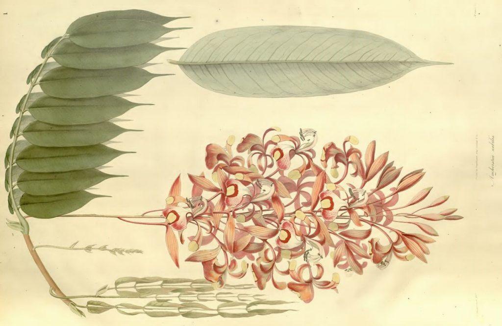 Eine botanische Zeichnung des dänischen Biologen Wallich