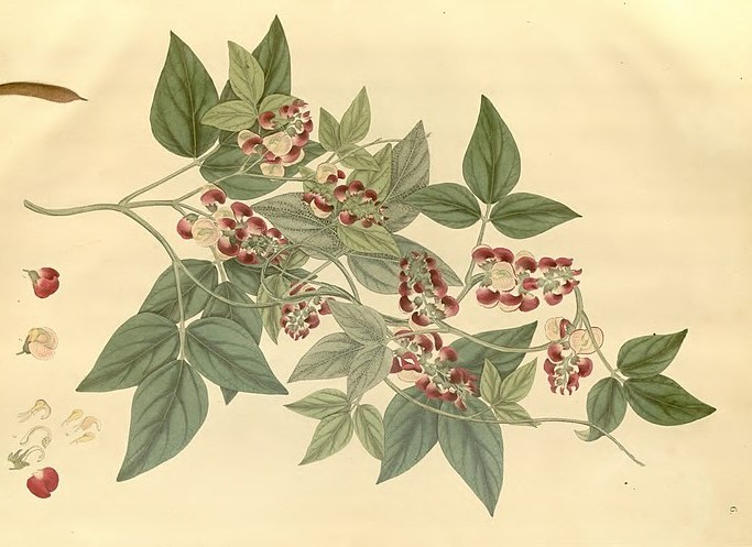 A botanical drawing of the species Phaseolus fuscus from Wallich's book Plantae Asiaticae Rariores